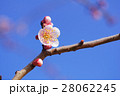 バラ科 花 梅の写真 28062245