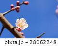 バラ科 花 梅の写真 28062248