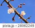 バラ科 花 梅の写真 28062249