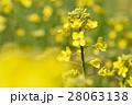 春 菜の花 28063138