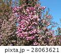可愛い小さい桃色の花エリカ 28063621