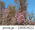 可愛い小さい桃色の花エリカ 28063622