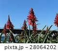 赤い花を咲かせたキダチアロエ 28064202