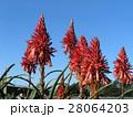 赤い花を咲かせたキダチアロエ 28064203