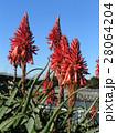 赤い花を咲かせたキダチアロエ 28064204