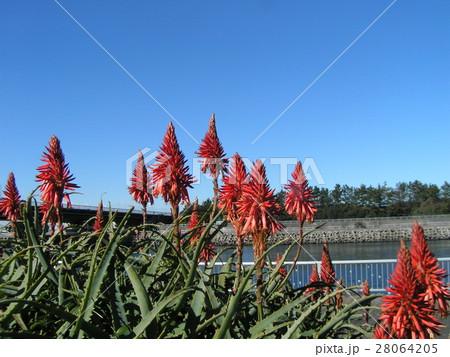 赤い花を咲かせたキダチアロエ 28064205