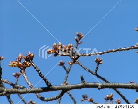 一月の青空に薄緑色のカワヅザクラの蕾 28064210