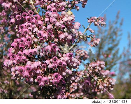 可愛い小さい桃色の花エリカ 28064433