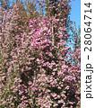 可愛い小さい桃色の花エリカ 28064714