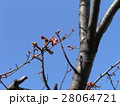 一月の青空に桃色に膨らんでもう直ぐ咲くのカワヅザクラの蕾 28064721