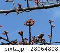 一月の青空に桃色に膨らんでもう直ぐ咲くのカワヅザクラの蕾 28064808