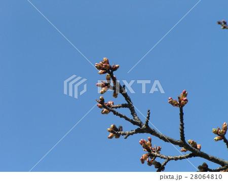 一月の青空に桃色に膨らんでもう直ぐ咲くのカワヅザクラの蕾 28064810