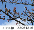 一月の青空に桃色に膨らんでもう直ぐ咲くのカワヅザクラの蕾 28064816
