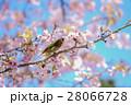桜とメジロ 28066728
