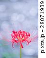 彼岸花 曼珠沙華 花の写真 28071939