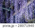 藤 藤棚 花の写真 28071940