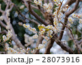 皇居東御苑の梅とメジロ ウグイス 28073916