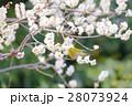 皇居東御苑の梅とメジロ ウグイス 28073924