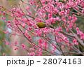 皇居東御苑の梅とメジロ  28074163