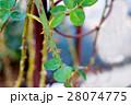バラ とげ トゲの写真 28074775