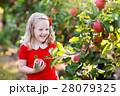 りんご リンゴ 林檎の写真 28079325