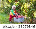 りんご リンゴ 林檎の写真 28079346