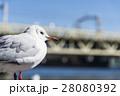カモメ 鳥 鳥類の写真 28080392
