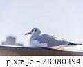 カモメ 鳥 鳥類の写真 28080394