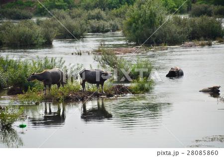 ラオスのデット島 島を囲むメコン川と水牛の群れ 28085860