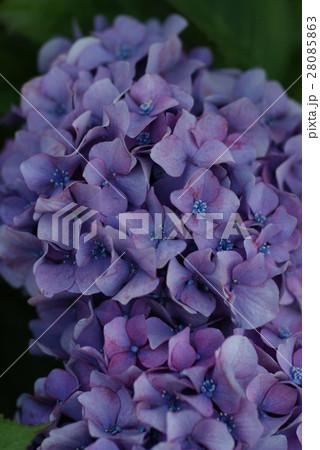 紫陽花 28085863