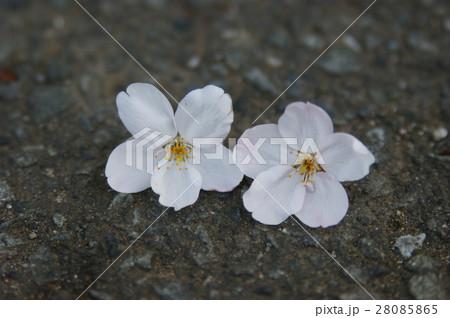 さくらの花びら 28085865