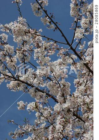桜と青空 28085869