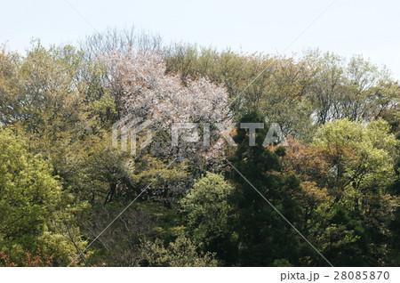 山桜 28085870