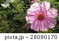 透けるコスモス / Transparent Cosmos 28090170
