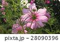透けるコスモス / Transparent Cosmos 28090396