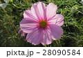 透けるコスモス / Transparent Cosmos 28090584