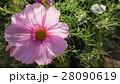 透けるコスモス / Transparent Cosmos 28090619
