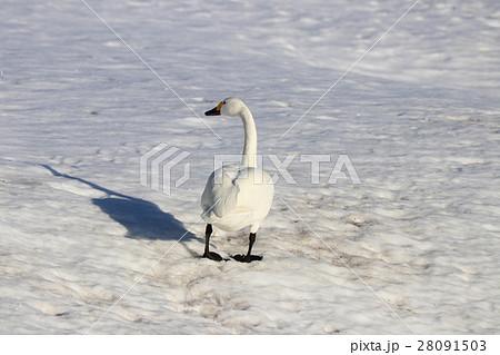 白鳥 28091503