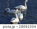 白鳥 28091504