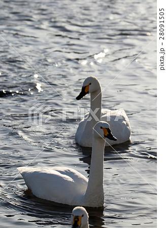 白鳥 28091505