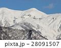 白鳥 鳥 雪の写真 28091507