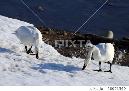 白鳥 28091560
