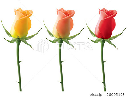 Roses set isolated, vector 3D illustration 28095193
