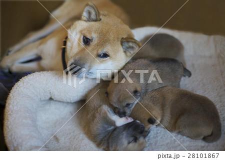 生まれたばかりの柴犬の赤ちゃん 28101867