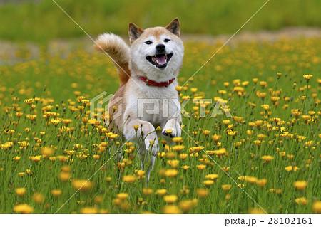 タンポポと柴犬 28102161