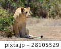 ライオン ねこ 天然の写真 28105529