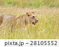ライオン 天然 ケニアの写真 28105552