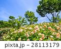 薔薇の花 28113179