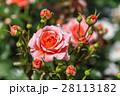 薔薇 バラ バラ科の写真 28113182