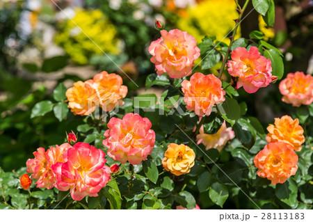薔薇の花 28113183